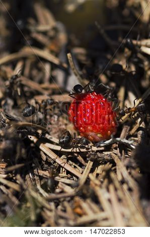 Ants and wild strawberry in an anthill