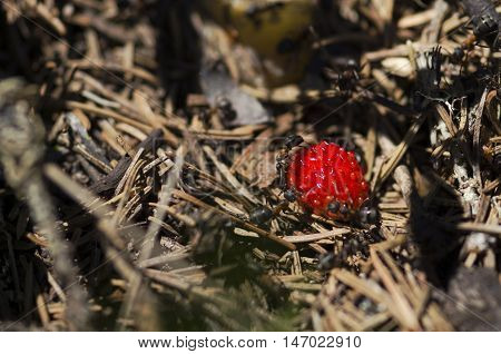 Beautiful wild strawberry and ants. Selective focus