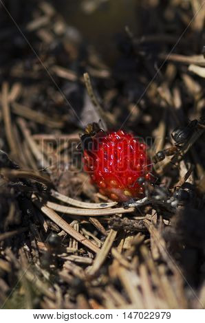 Many ants and wild strawberry. Selective focus