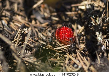 Ripe wild strawberry and ants in an anthill