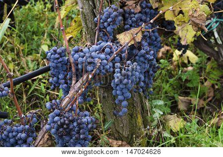 Merlot clusters in a row in a vineyard