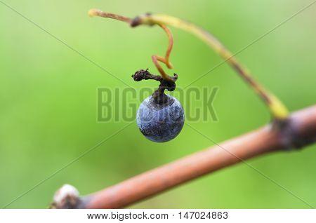 Merlot grape on a vine. Selective focus