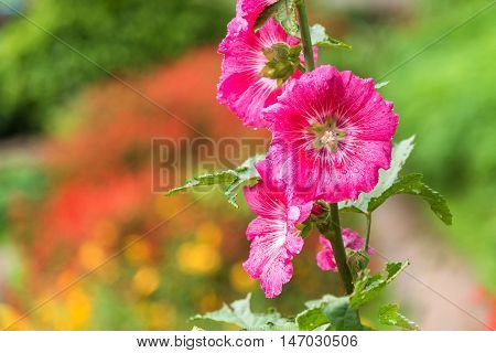 Close up blooming hollyhock flower with dew drop.