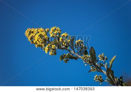 Yellow flowering broom branch on blue sky background