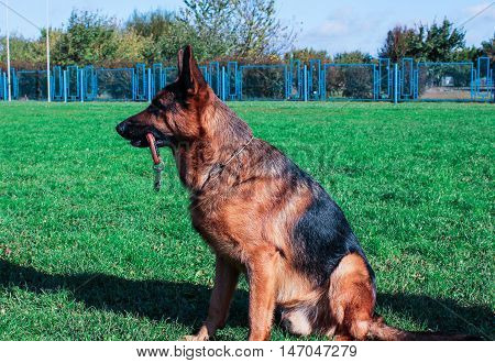 pedigreed  german shepherd sitting on green grass