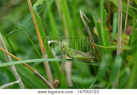 green grasshopper on  plant background ( orthoptera)