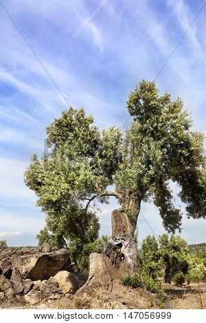 Olive Tree in Matarranya. Teruel province. Spain