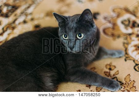 Dark grey cat lies on the carpet with eastern-style patterns at home and resting, looking to camera.