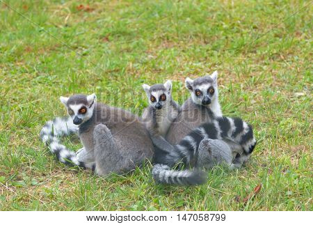 ring-tailed lemur (lemur catta) on field, close up