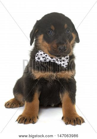 beauceron puppy in front of white background