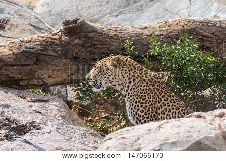 Big Leopard In Attacking Position Ready For An Ambush Between The Rocks And Bush. Kruger National Pa