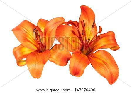 Two Isolated Bright Orange Asian Lily Flowers On White