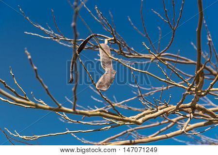 Egyptian Acacia. Vachellia nilotica at winter season