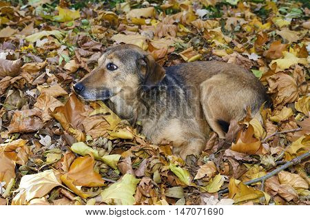 Abandoned dog nestles in the autumn leaves in a park