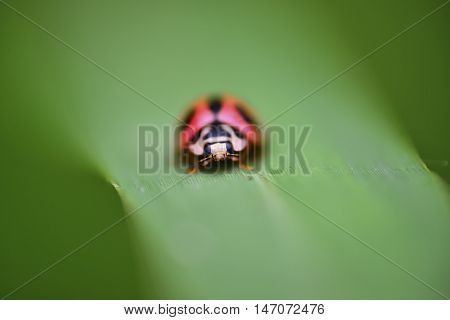 close up view red ladybug with black spots perched on the grass with narrow DOF