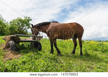 Natural rural background with farm animal - chestnut horse grazing on the field. Russia.