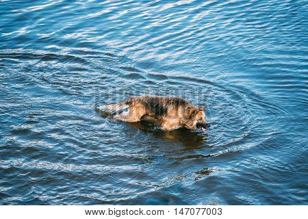 The Bathing Wallowing In Blue Water Of River Lake Alsatian Wolf Dog Long-Haired Wet Black And Red And Tongue. Deutscher, German Shepherd Dog. Copy Space