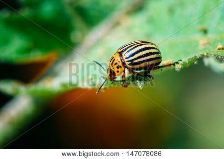 Colorado Potato Striped Beetle - Leptinotarsa Decemlineata Is A Serious Pest Of Potatoes Plants