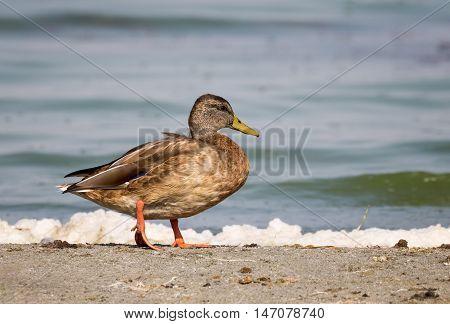 Close-up of a Wild Duck Bird, Mallard Duck (Anas platyrhynchos)