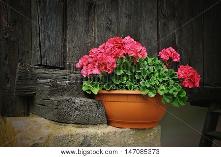 Red geranium flower, potted plant in alpien rural house with wooden boards