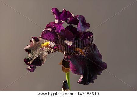 Draculas Kiss bloom blooming. Beautiful spring flower open petal. White with purple edges iris blossom.