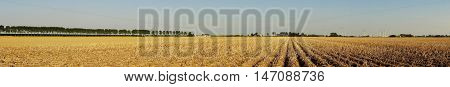 Panoramic view of a large potato field in summer