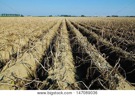 Vegetable field with potato plants in summer