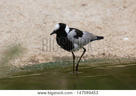 Blacksmith lapwing (Vanellus armatus), also known as the blacksmith plover. Wildlife animal.