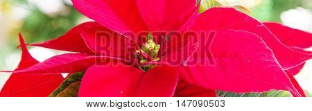 Banner panoramic background with beautiful red poinsettia Christmas flower close up