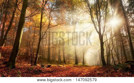 Rays of bursting sunlight in a misty forest with red and gold colors in autumn poster