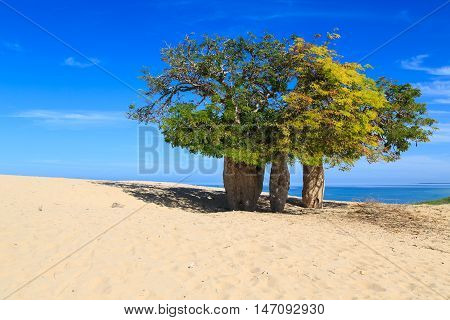 Baobab Trees In An African Landscape With The Sea In The Background