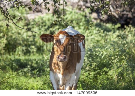 A young Guernsey calf standing in an open field.