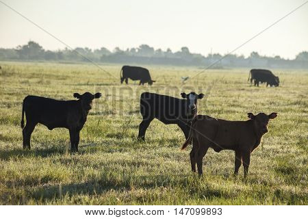 Calves standing in an open field early morning.
