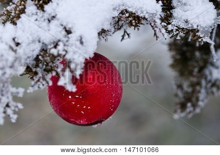 Frozen Red Christmas Ornament Decorating a Snowy Outdoor Tree