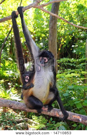 Ateles geoffroyi vellerosus Spider Monkey Central America mother and baby poster