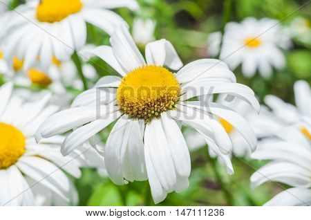 Inflorescence of Leucanthemum vulgare, closeup. Flower similar to a Daisy. Astrocities