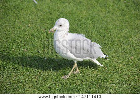A gull in grass on Mackinac Island