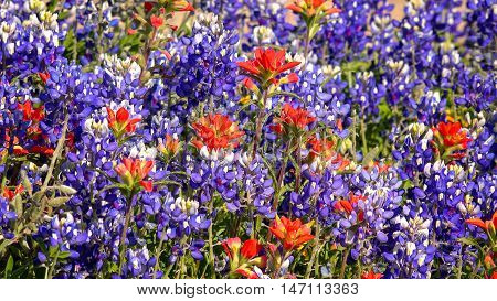 Spring wildflowers bloom in central Texas hill country