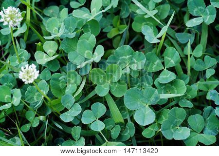 Four leaf clover. Two four-leaf clovers in the middle. Shallow depth of field.
