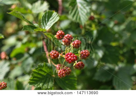Raw raspberry on a branch against leaves.