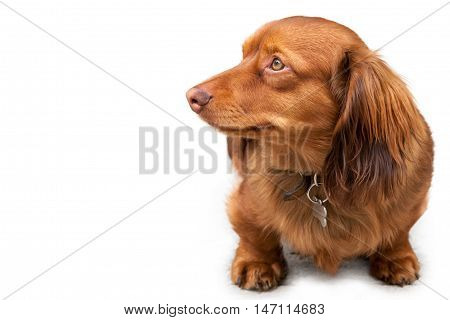 Long haired miniature dachshund on white background