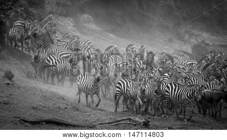 No where in the world is there a movement of animals as immense as the wildebeest and zebra migration over two million animals migrate from the Serengeti National Park in Tanzania to the greener pastures of the Maasai Mara National Reserve in Kenya during poster