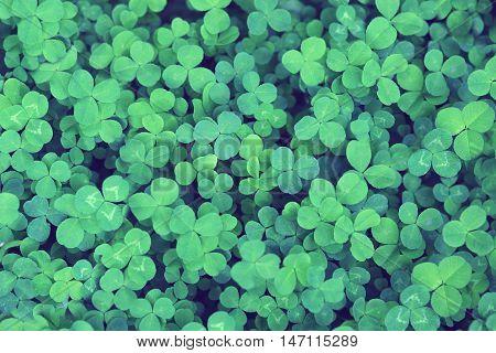 Green grass background. Clovers three leaf. Summer texture.