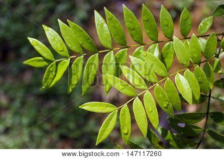 Tongkat Ali / Eurycoma Longifolia