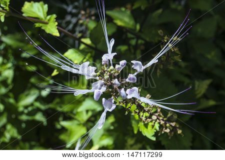 Orthosiphon aristatus also known as kumis kucing in Indonesia and misai kucing in Malaysia. In the US it may be commonly known as cat's whiskers or Java tea.
