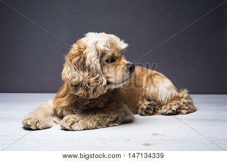 Dog on a white wooden floor. American cocker spaniel lying and looking to side with interest. Young purebred Cocker Spaniel. Dark background.