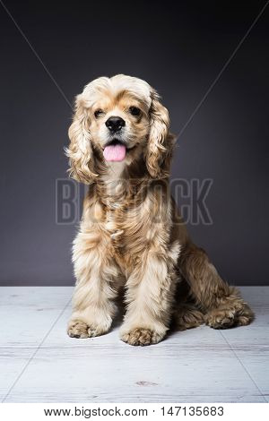 Dog sitting on a white wooden floor. American cocker spaniel sitting and looking at the camera with interest. Young purebred Cocker Spaniel. Dark background.