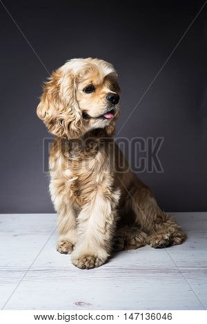 Dog sitting on a white wooden floor. American cocker spaniel sitting and looking to side with interest. Young purebred Cocker Spaniel. Dark background.