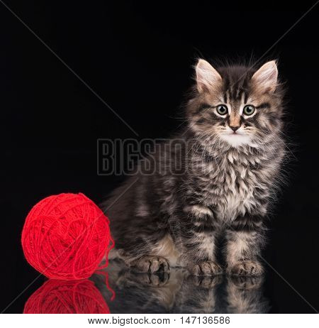Cute siberian kitten with ball of red threads over black background