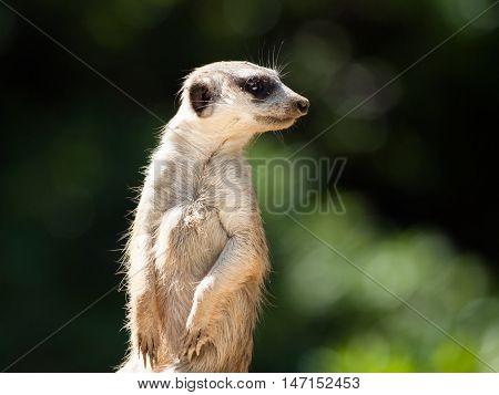 Meerkat, aka suricate, as a guard on alert. Small african carnivore.